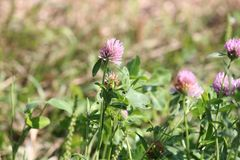 Trifolium do trevo Fotos de Stock Royalty Free