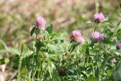 Trifolium do trevo Foto de Stock Royalty Free