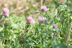 Trifolium do trevo Imagem de Stock