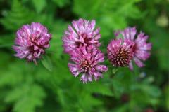 trifolium för växt av släkten Trifoliumpratensered Arkivfoton