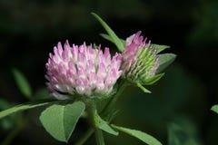 trifolium för växt av släkten Trifoliumpratensered Royaltyfria Bilder