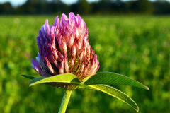 Trifolium flowering. Stock Photos