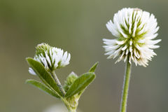Trifolium montanum Stock Photo