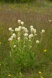 Trifolium montanum Στοκ Φωτογραφία