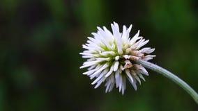 Trifolium montanum stock footage