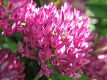 Trifolium pratense Fotografia Stock Libera da Diritti