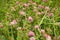 Trifolium pratense Boschetti di un trifoglio sbocciante immagini stock libere da diritti