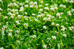 Trifolium pratense (clover) Royalty Free Stock Images