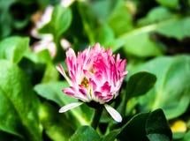 Trifolium pratense, fiore rosso del clower immagini stock libere da diritti