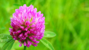 Trifolium pratense. Pink shamrock in the meadow stock video footage