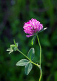 Trifolium pratense Royalty Free Stock Photography