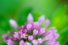 Trifolium pratense Red Clover Flower Stock Photography