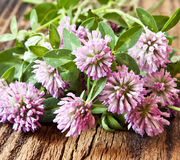 Trifolium pratense, Red Clover Flowers Stock Images