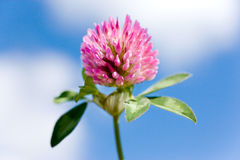 Trifolium pratense -  red clover pink flower Royalty Free Stock Image