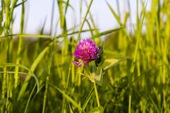 Trifolium Pratense (trébol rojo) Fotografía de archivo