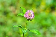 Trifolium repens Λουλούδι του κόκκινου τριφυλλιού Στοκ φωτογραφίες με δικαίωμα ελεύθερης χρήσης