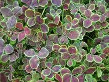 Trifolium repens Stock Photo
