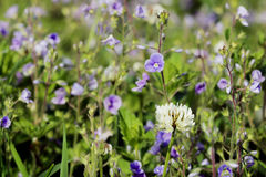 Trifolium repens. The one white clover grows on a meadow Royalty Free Stock Photo