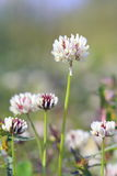 Trifolium repens. Plant flower close up Stock Photo