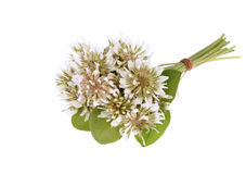 Trifolium repens-White clover Royalty Free Stock Photos