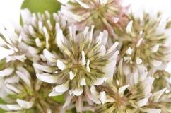 Trifolium repens-White clover Stock Image