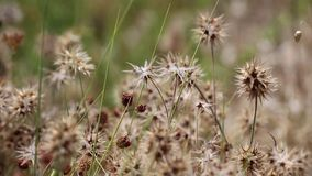Trifolium stellatum Starry clover wild plant in nature stock video
