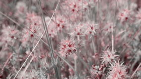 Trifolium stellatum Starry clover wild plants in nature stock video footage