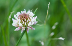 Trifolium white clover flower. Close up of white clover or dutch clover with green grass background Royalty Free Stock Photo