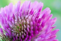 Trifoliumblomma Royaltyfri Foto