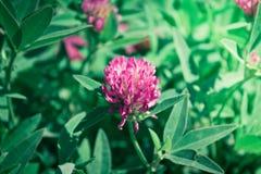 Trifoliumpratense Royaltyfri Bild