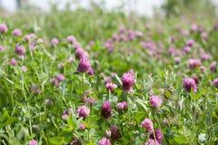 Trifoliumpratense Arkivfoton