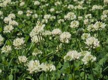Trifoliumrepens Fotografering för Bildbyråer
