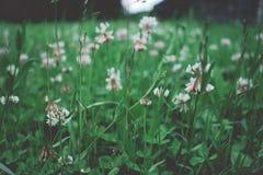 Trifoliumrepens Härlig grön äng med naturliga blommor Royaltyfria Bilder