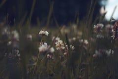 Trifoliumrepens Härlig grön äng med naturliga blommor Fotografering för Bildbyråer