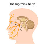 The trigeminal nerve. Anatomy of the trigeminal nerve, eps8 Stock Images
