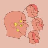 Trigeminal nerw Zdjęcie Royalty Free
