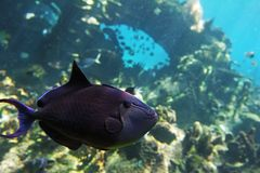 Trigfish Royalty Free Stock Photography