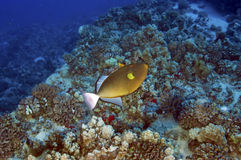 Trigger Fish Royalty Free Stock Photography