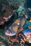 Trigger fish close up Stock Photography