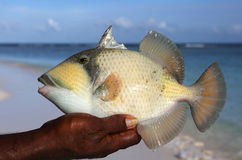 Trigger fish. Royalty Free Stock Photos