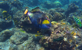 Trigger fish in coral reef, coral fish of Bali sea Stock Photos
