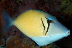 Trigger-fish de boomerang, Maldives Images stock