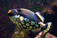 Trigger-fish de clown Photographie stock