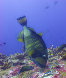Trigger fish Royalty Free Stock Image
