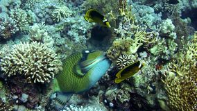 Trigger fish over colorful coral reef and Elphinstone. Diving in the Red sea. Near Egypt stock video