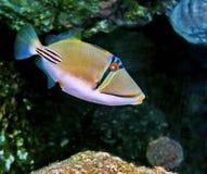 Trigger-fish Picasso   Photographie stock libre de droits