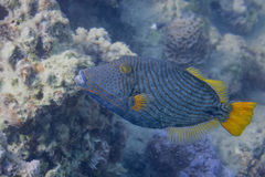 Trigger fish in red sea Stock Images