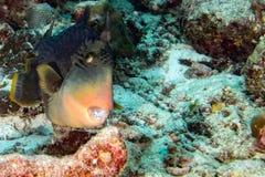 Trigger fish titan defending its nest underwater Stock Photo