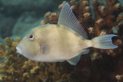 Trigger fish Royalty Free Stock Photo