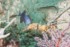 Trigger fish Royalty Free Stock Images